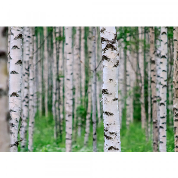 Vlies Fototapete Birch Forest II Wald Tapete Birkenwald 3D Perspektive Birke Stämme Wald grün