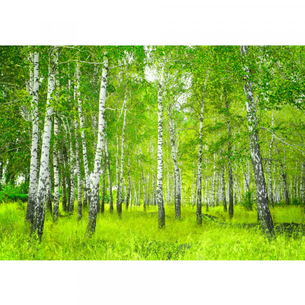 Vlies Fototapete Sunny Birch Forest Wald Tapete Birkenwald Bäume Wald Sonne Birke Birken Natur Baum