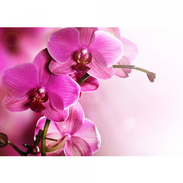 Vlies Fototapete Pink Orchid Ornamente Tapete Orchidee Blumen Blumenranke Rosa Pink Natur Pflanzen